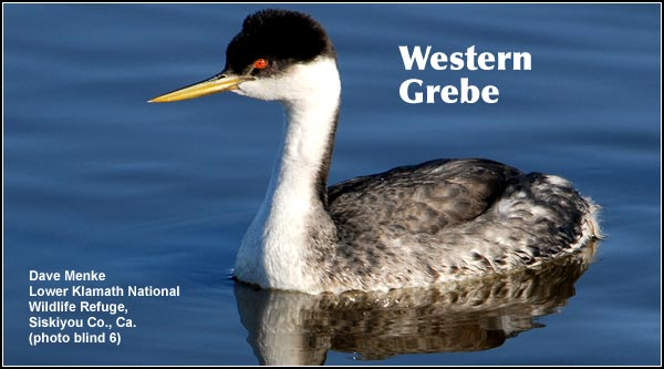 Western Grebes are distinguished from Clark's grebes by the black crown which extends below the eye and the drab coloration of the bill.  They are common in deepwater wetlands during the spring, summer and fall.  photo by dave menke