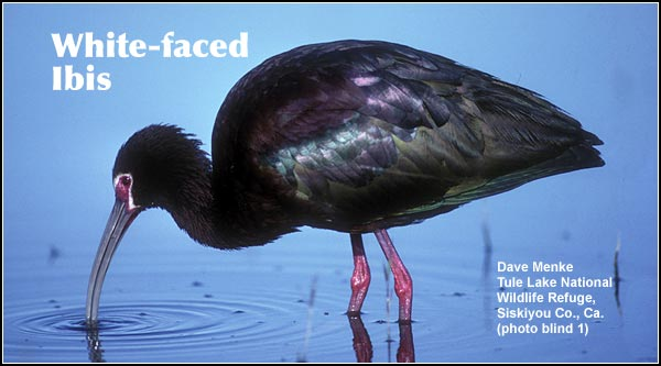 white-faced ibis, during the spring and summer months, make daily trips from colonial nesting sites to feed in shallow wetlands and flooded pastures.  photo by dave menke