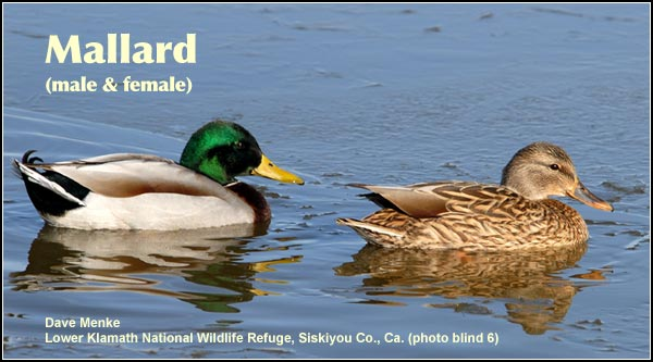 Mallards are abundant and widespread in all wetlands habitats throughout the year. They are most common  on shallow marshes and often feed on nearby grain stubble during the migration periods. photo by dave menke