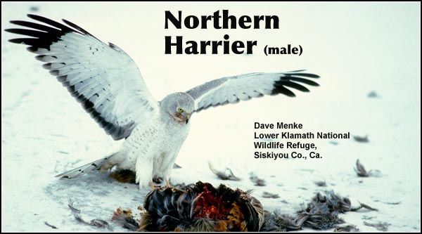 The numbers of northern harriers, like many other raptors, increase dramatically during the winter months.  They are most often seen flying low over marshes and agricultural lands.  photo by dave menke