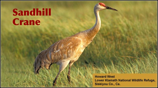 Sandhill Cranes are both a migrant and breeding species.  During fall and spring migrations, hundreds may gather on Lower Klamath Refuge.  Nesting pairs  are easily seen in the spring on Klamath Marsh Refuge. photo by howard weston