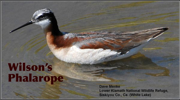In the Upper Klamath Basin watershed, Wilson's phalaropes are seen in shallow wetlands during the spring and summer. They stir up and feed on small invertebrates by rapidly spinning around in shallow wetlands. photo by dave menke