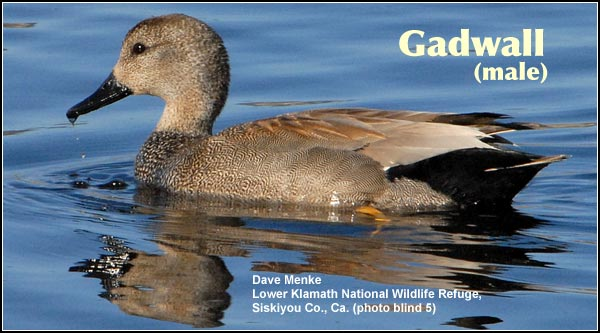 Gadwall ducks are found in the Upper Klamath Basin wetlands throughout the year. Like most other duck species their numbers increase dramatically during the spring and fall migration periods. photo by dave menke