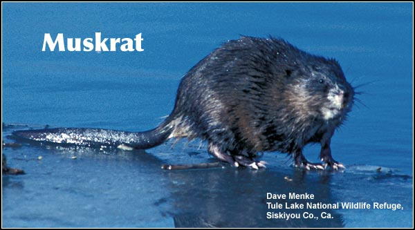 Muskrats are a small aquatic mammal is very common in Upper Klamath and Tule Lake Basin wetlands. They are frequently observed in marshes, lakes, ponds, riparian areas and in irrigation canals.  photo by dave menke
