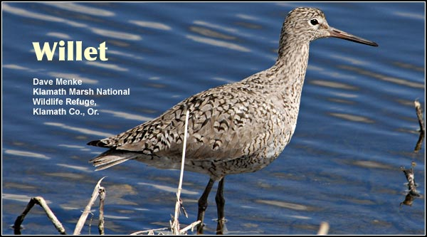 Willets are a grassland nesting species usually seen in shallow wetlands in the Upper Klamath Basin watershed.  They are common during the spring and summer but migrate out of the Basin during the winter.  photo by dave menke