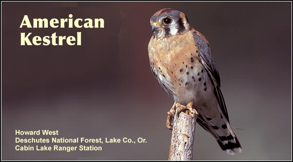 The American Kestral is a small falcon in urban and agricultural areas as well as most other upland habitats in the Upper Klamath and Tule Lake Basins.  It is often observed perched on roadside transmission lines. photo by howard west