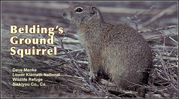 Belding's Ground Squirrel are most often seen in farm fields, grass lands and pastures where they can damage crops as hundreds of squirrels may be found in a single field.  It inhabits dry upland areas in the Klamath and Tule Lake Basins. photo by dave menke