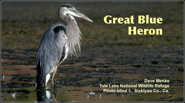 Great blue herons are frequently seen in irrigation canals as well as other wetland areas within the Upper Klamath Basin watershed.  This species is common most months with numbers decreasing in the winter.  photo dave menke