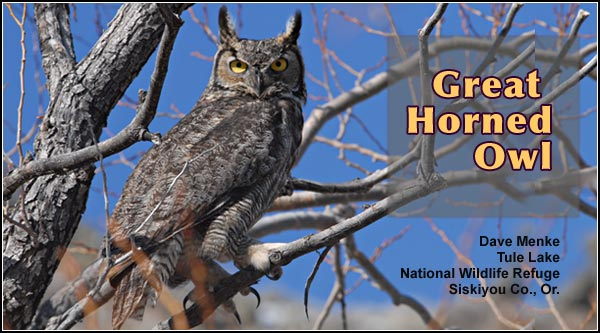 "Great horned owls are found in both residential and agricultural areas as well as other upland areas in Upper Klamath and Tule Lake Basins.  This large owl is most  often ""observed"" by hearing its call during hours of darkness. photo dave menke"