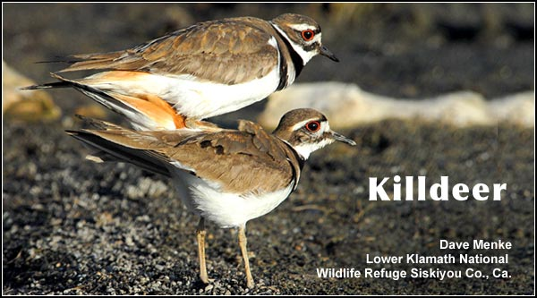 Killdeer nest in open areas;  usually in pastures or other locations with low,  sparse vegetation.  This is a common species in the Upper Klamath Basin  watershed with numbers declining during the mid winter months. photo by dave menke