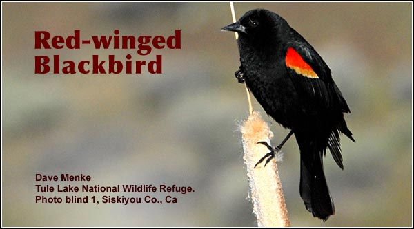 Red-winged blackbirds are abundant throughout the year in most habitats within the Upper Klamath and Tule Lake Basins. During the late fall and winter flocks of thousands are sometimes observed near crop and pasture land.  photo by dave menke