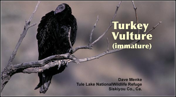 Turkey vultures may be seen in most upland habitats in the Upper Klamath  Basin watershed. This species is observed primarily in the summer months over open ground or marshes. photo by dave menke