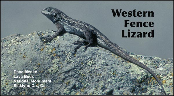 The Western Fence Lizard  is a common lizard that may be found in dry upland locations in the Upper Klamath Basin watershed.  It is seen mostly in brushy areas, near buildings and at sites with exposed rock outcropping. photo by dave menke