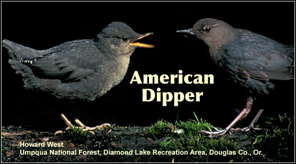 Dippers nearly always nest and are observed along swift flowing creeks in the Cascade and Siskiyou mountains.  They are an uncommon year-round resident  of the Upper Klamath Basin watershed.  photo by howard west