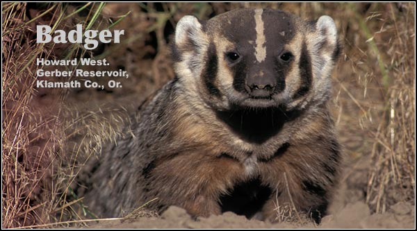 Badgers, in the Upper Klamath watershed, are found primarily in dry upland locations where they dig dens and raise young.  Badgers feed on small rodents which they dig out of ground burrows.   photo by howard west