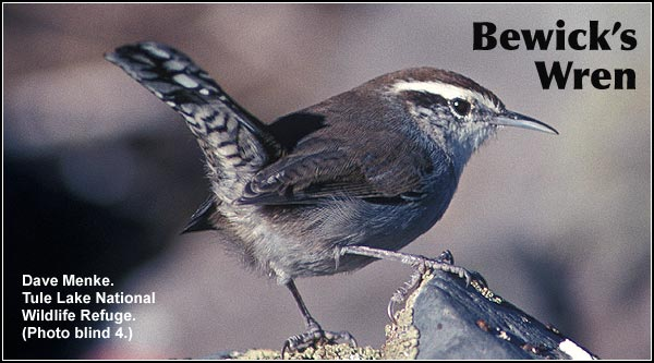 Bewick's Wrens are observed year round in brushy habitats within Tule Lake and  Upper Klamath Basins. Also found in Ponderosa/lodgepole pine forest.  photo by dave menke