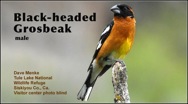 Black-headed  grosbeaks breed in the Upper Klamath and Tule Lake Basins.   They are most commonly observed  in trees and bushy  areas during the spring  and fall migrations  photo dave menke