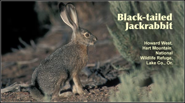 Jackrabbits are a year-round resident found mostly in areas of sagebrush or grasslands in the southern portion of Upper Klamath Basin watershed.  photo by howard west