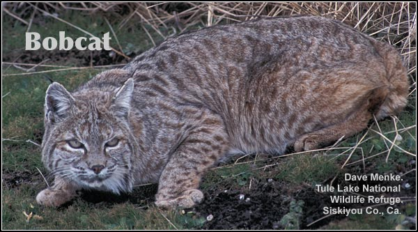 Bobcats are mostly nocturnal mammals observed primarily in open rocky or brushy areas during the winter months in the Upper Klamath Basin watershed.   photo by dave