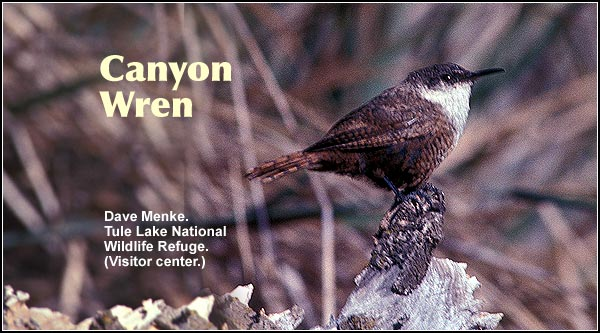 Canyon Wrens are common in localized habitats with moderately dense brush adjacent to cliffs or rocky upland locations.  Observed year round. photo by dave menke