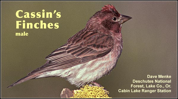 Cassin's finches are found primarily in locations dominated by pine or high elevation forest. They are an uncommon year round species seen mostly in the northern portion of the Upper Klamath  Basin watershed.  photo dave menke
