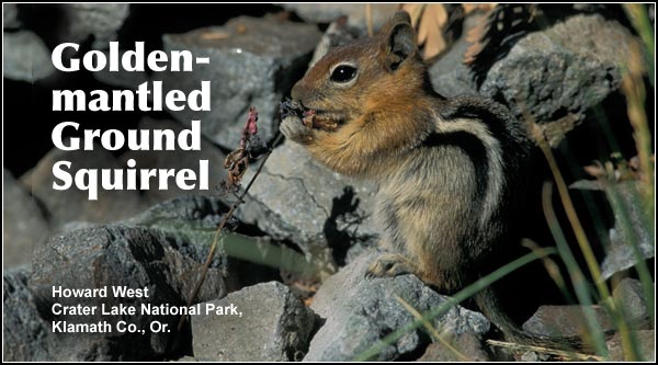 Golden-mantled ground  squirrels are commonly  observed in all wooded  and brushy upland  habitats in the Upper Klamath and Tule  Lake Basins.  Other  habitats include  Juniper/sagebrush and  high elevation forest.  photo howard west