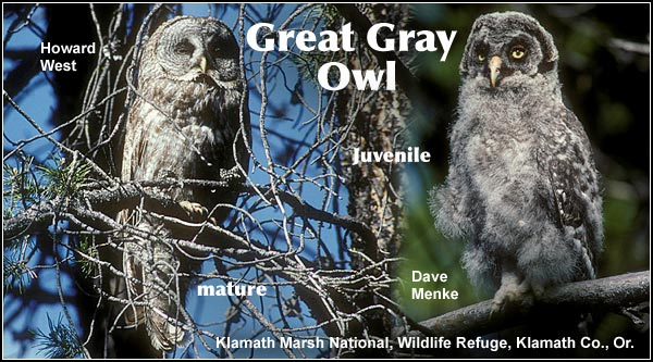 Great gray owls nest in mature trees near meadows where a supply of rodents are available.  They are a rare resident species that is found primarily in the northern portion of the Upper Klamath Basin watershed.  photos by dave menke and howard west