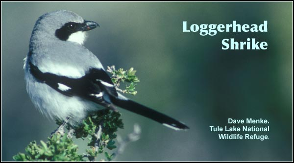 Loggerhead Shrikes are commonly observed year round in a variety of fairly open  habitats with scattered trees.  Often perched on utility or fence wires. Feeds primarily on small birds, rodents and insects.  Also found in crop and pasture land.   photo by dave menke