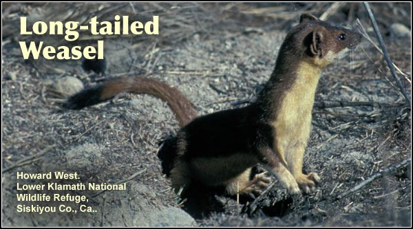 Weasels are uncommon but widespread small mammals found in a variety of Upper Klamath Basin watershed habitats near water.  They have white fur during the winter which changes to tan-brown the balance of the year.   photo by howard west
