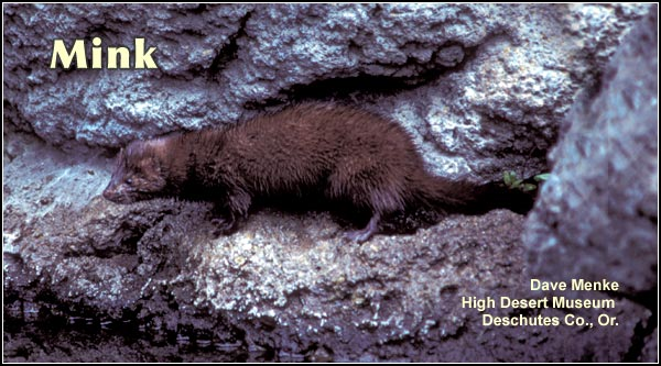 Mink are an uncommon small mammal found in a variety of wetland habitats  throughout the Upper Klamath Basin watershed including lakes, streams, seasonal  marshes, deep marshes and irrigation canals.  photo by dave menke