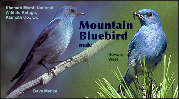 Mountain bluebirds may be seen at  anytime of the year  in the Upper Klamath  Basin watershed.   They nest primarily  in open pine stands  where past fires have  resulted in dead trees  that provide nesting  cavities.  photos by dave menke and howard west