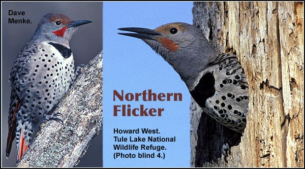 Northern Flickers are probably the most common woodpecker species in the Upper Klamath and Tule Lake Basins.  It is likely to be seen anywhere trees are present.  They also can be seen in Ponderosa/lodgepole pine forest and crop  and pasture land.   photos by  dave menke and howard west