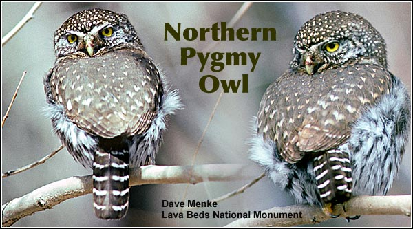Pygmy owls are an  uncommon resident the  upland habitats in the Upper Klamath and  Tule Lake Basins.   They are sometimes  seen near bird feeders  during the winter  months where they prey on small birds.   Other habitats include  juniper/sagebrush and high elevation forest.   photos by dave menke