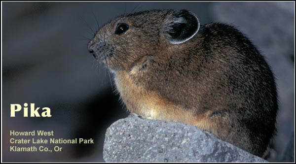 Pikas are found in high elevation locations on rocky mountain slopes in the Upper Klamath Basin watershed.  This species is most frequently observed at Crater Lake  National Park.  photo by howard west