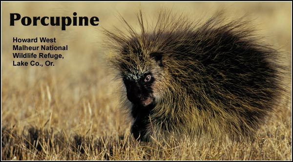 Porcupines are found in areas of trees and bushy vegetation as an uncommon resident species with a fairly wide distribution throughout the Upper Klamath Basin watershed.  photo by howard west