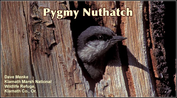 Pygmy nuthatches are  an uncommon species  found throughout the  year within the Upper  Klamath Basin  watershed.  This  cavity nesting species  is found  in open  stands of pine where  suitable nesting cavities are available.    photo by dave menke.