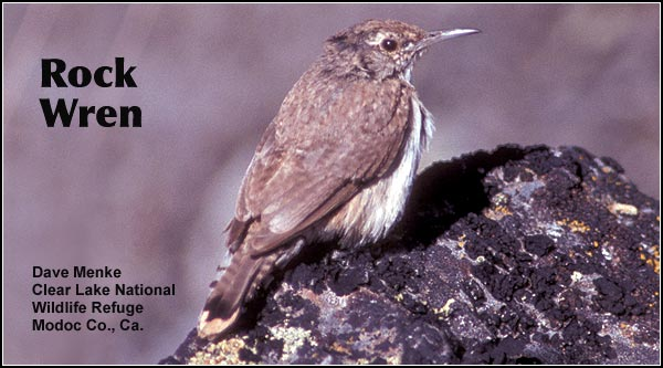 Rock wrens, as their name implies, are seldom seen far from rocky habitats in the Upper Klamath Basin watershed. This uncommon species is seen in lava rock fields and scree covered slopes in high elevations.  photo dave menke