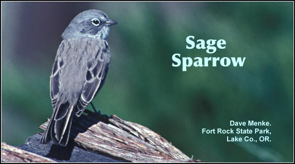 Sage Sparrows are rarely seen during the spring and summer months primarily in the Clear Lake area.  photo by dave menke