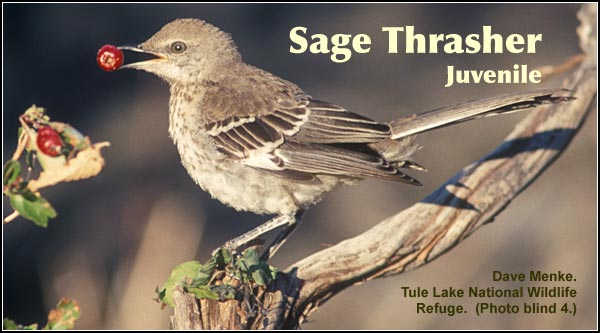 Sage Thrashers are found in areas of moderately dense sagebrush particularly in the southern portions of the Upper Klamath and Tule Lake Basins.  photo by dave menke