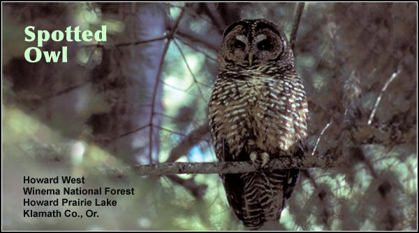 Spotted owls are a rare year-round resident in coniferous forests in the Klamath  Basin watershed.  These owls are also found in Ponderosa and lodgepole pine forests.  photo howard west