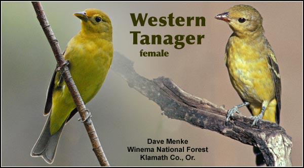 Western Tanagers are a locally common  species in the Upper  Klamath and Tule Lake  Basin.  It is seen in  forested upland  habitats during the  summer as well as the spring and fall migrations.  Other  habitats include  juniper/sagebrush and  high elevation forests.  photos by dave menke.