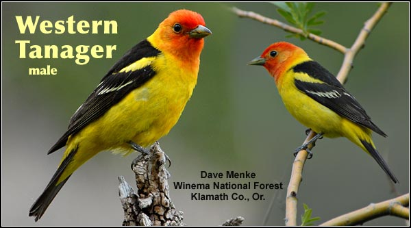 Western Tanagers are a locally common  species in the Upper  Klamath and Tule Lake  Basin.  It is seen in  forested upland  habitats during the  summer as well as the spring and fall migrations.  Other  habitats include  juniper/sagebrush and  high elevation forests.  photos by dave menke