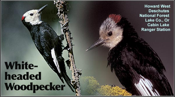 White-headed  woodpeckers are found  as an uncommon  resident species in the  northern portion of the  Upper Klamath Basin watershed.  They may  be observed in open  Ponderosa pine stands  during the summer months.  Other habitat  includes juniper  and sagebrush.  photos by howard west