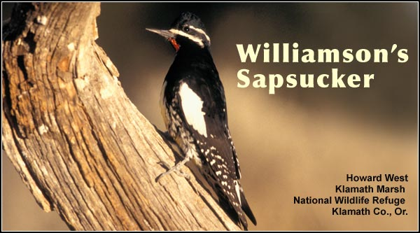 Williamson's sapsuckers are an uncommon breeding species found in high elevation forests of pine and other conifers in the Upper Klamath Basin watershed.   Their numbers decrease during the winter months.   photo howard west