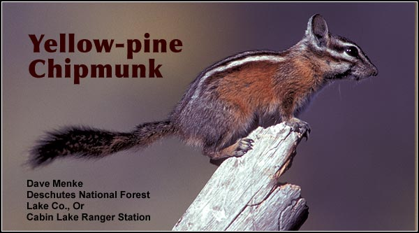 Yellow-pine chipmunks  are seen primarily in the  northern portion of  the  Upper Klamath  Basin watershed in  open stands of  Ponderosa pine.   Other habitats include juniper and sagebrush.  photo by dave menke