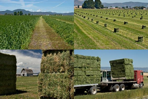 Growing Alfalfa in the Tule Lake Basin, Tulelake Ca. Photos By Anders Tomlinson.
