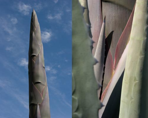 century plant's emerging flower stalk and detail of the stalk at the base.  Photos by Anders Tomlinson.