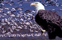 Bald Eagle and geese on Tule Lake, Tule Lake National Wildlife Refuge.  Photos by Anders Tomlinson.