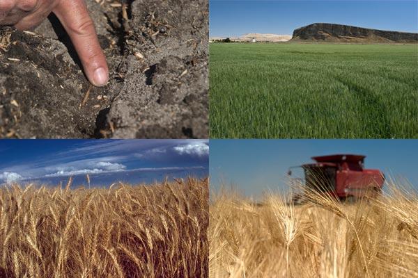 Growing grain in the Tule Lake Basin, Tulelake CA. Photos by Anders Tomlinson.