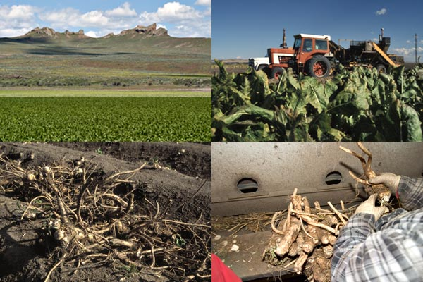 Growing horseradish in the Tule Lake Basin, Tulelake CA. Photos by Anders Tomlinson.